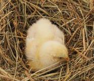 Poulets dans un nid de foin photos stock