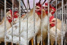 Poulets dans une cage prête pour la vente sur le marché arabe images stock