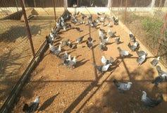 Poulets dans une ferme photo libre de droits