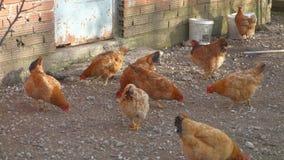 Poulets dans une ferme en Grèce banque de vidéos