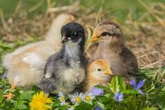 Poulets dans une herbe images libres de droits