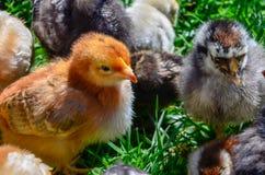 Poulets de bébé à une ferme photographie stock libre de droits