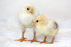 Poulets de bébé Photo stock