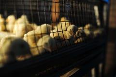 Poulets de bébé dans la cage photos libres de droits