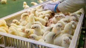 Poulets de bébé juste soutenus sur le plateau images stock