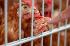 Poulets de Brown à une ferme de poulet images stock