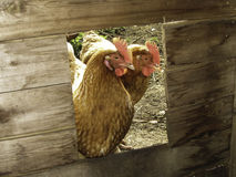 Poulets de Brown Photographie stock