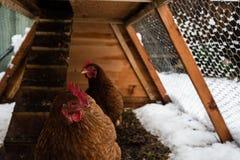 Poulets de Brown dans le coup fait à la maison de poulet à l'arrière-cour rurale, image libre de droits