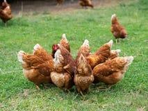 Poulets de Brown mangeant de la nourriture sur le plancher d'herbe Agriculture et escroquerie d'animal familier image libre de droits