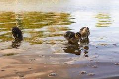 Poulets de canard avec le canard dans l'eau Photographie stock libre de droits