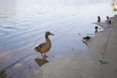 Poulets de canard avec le canard dans l'eau Images stock