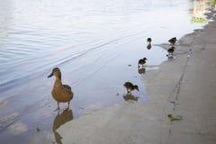 Poulets de canard avec le canard dans l'eau Image stock