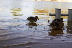 Poulets de canard avec le canard dans l'eau Photo stock