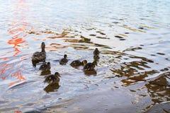 Poulets de canard avec le canard dans l'eau Photos stock