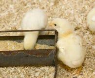 Poulets de chéri à la cuvette alimentante Image libre de droits