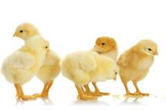Poulets de chéri Image stock