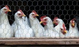 Poulets de ferme de ponte d'oeufs, cage images stock