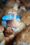 Poulets de gamme à la ferme organique images libres de droits