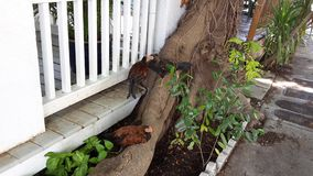 Poulets de Key West photo stock