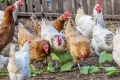 Poulets de Motley frôlant dans la cour de basse cour photo stock
