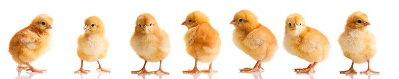 Poulets de Pâques sur l'herbe verte d'isolement Photographie stock libre de droits