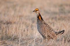 Poulets de plus grande prairie Photographie stock