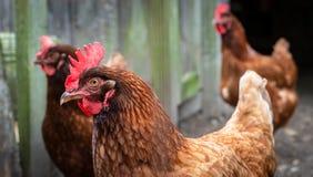Poulets de Rhode Island Red image libre de droits