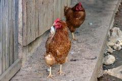 Poulets domestiques photo libre de droits
