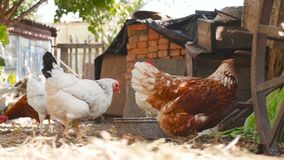 Poulets domestiques dans la cour Mouvement lent banque de vidéos