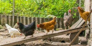 Poulets domestiques marchant dans l'arrière-cour Volaille sortant de la grange pour une promenade photographie stock
