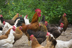 Poulets en cour de pays Photographie stock