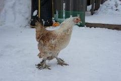 Poulets en hiver Poules - couches pendant l'hiver dans la cour photos stock