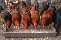 Poulets en Pologne photo stock