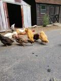 Poulets et canards photographie stock
