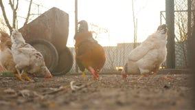 Poulets et coq dans la cour banque de vidéos