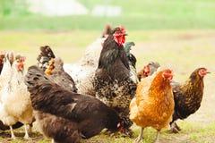 Poulets et coq dans le jardin Tir en gros plan des pondeuses image stock