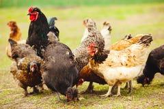 Poulets et coq dans le jardin Tir en gros plan des pondeuses photos stock