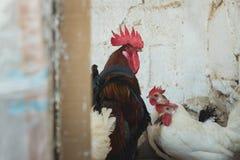 Poulets et coqs Photographie stock libre de droits