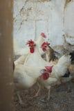 Poulets et coqs Photo libre de droits