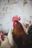 Poulets et coqs Images stock