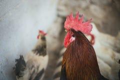 Poulets et coqs Photographie stock