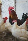 Poulets et coqs Image stock