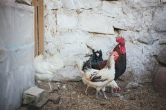 Poulets et coqs photos stock