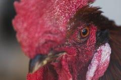 Poulets et coqs Images libres de droits