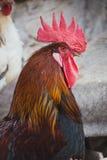 Poulets et coqs photo stock
