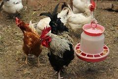 Poulets et coqs forageant autour d'un conducteur en plastique blanc en paille propre dans une clôture à une ferme Coq noir et bla Images stock
