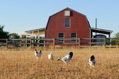 Poulets et grange Photo libre de droits