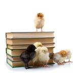 Poulets et livres. Images libres de droits