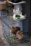 Poulets et pigeons en vente photos libres de droits