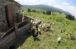 Poulets et poules dans la ferme avicole photographie stock